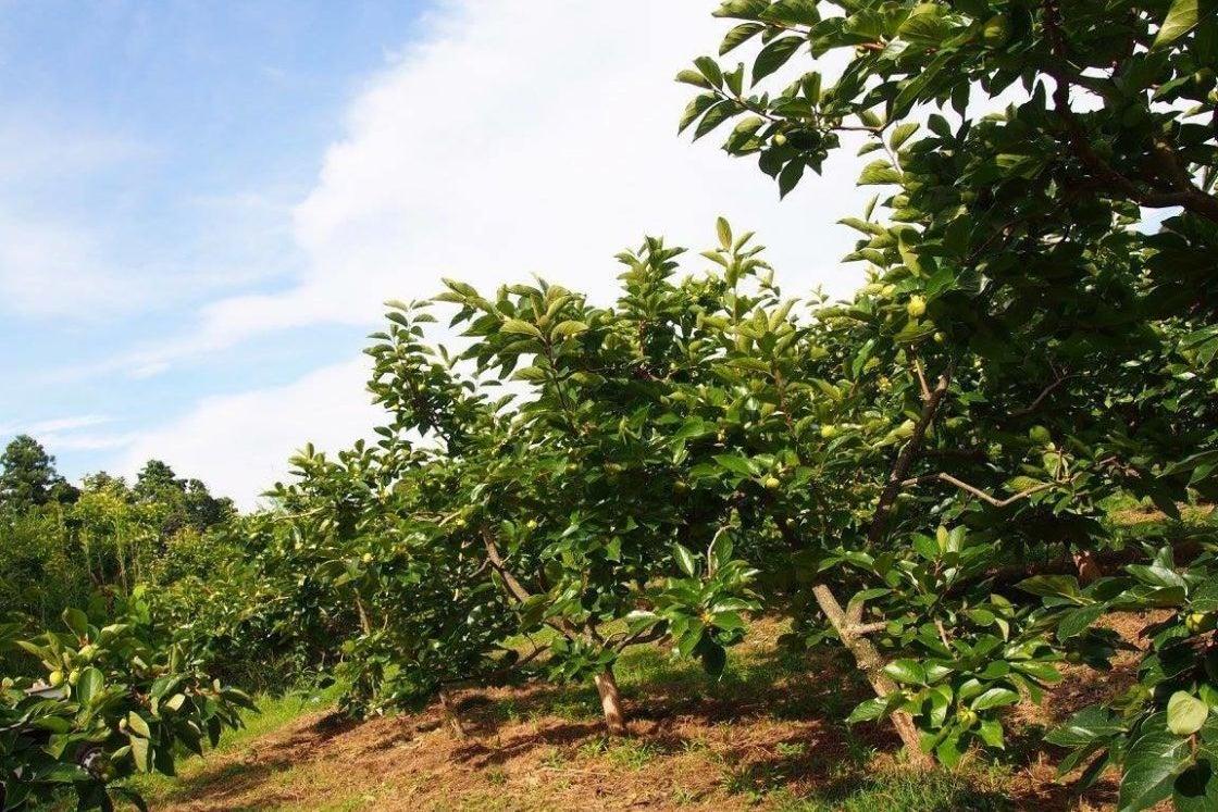 【浜松市】豊かな自然に囲まれたみかん・柿園 / オーナープラン申込で収穫体験&施設利用可能 / バーベキューもOK の写真