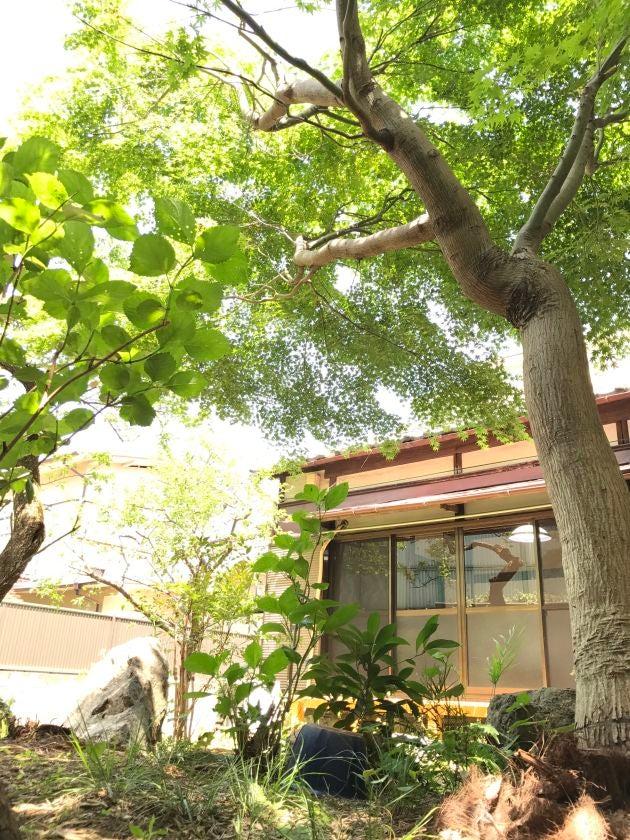 庭木の新緑が美しい季節~紅葉・桜・梅など