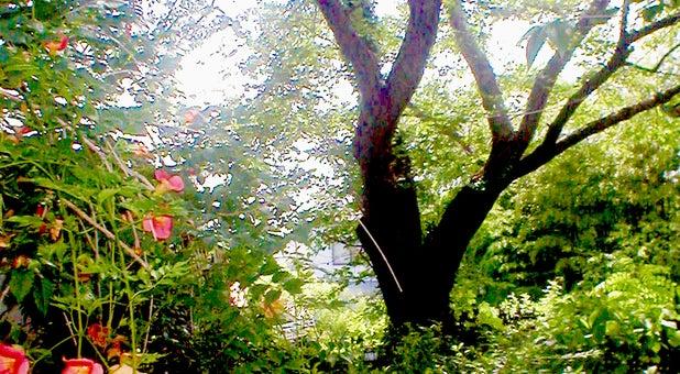 竹林、桜の大木のある癒しの庭を見ながら、ほっと一息;福寿カフェ